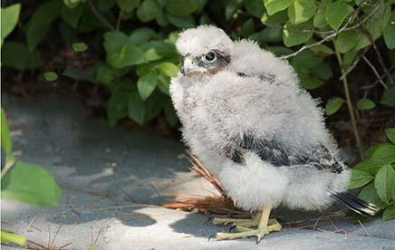 Lovell Lake Chick