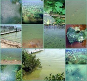 Images of cyanobacteria blooms in various lakes