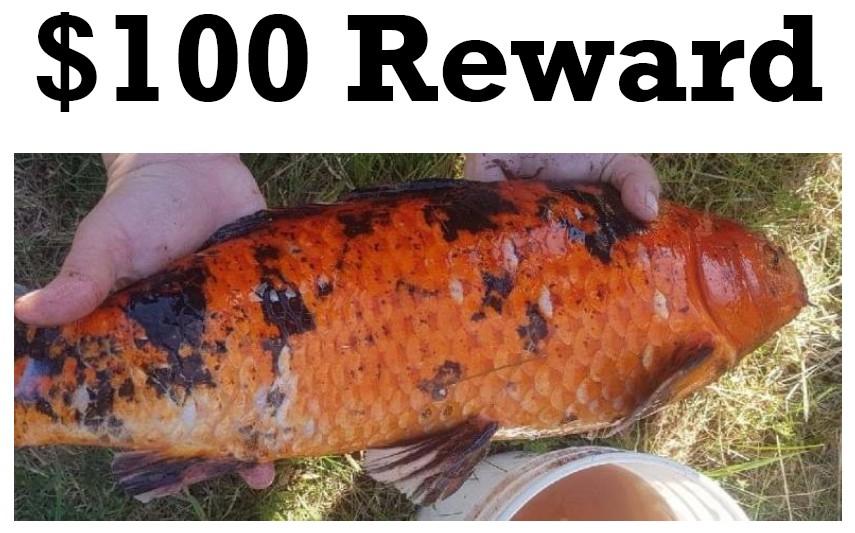 Image of a Koi fish.